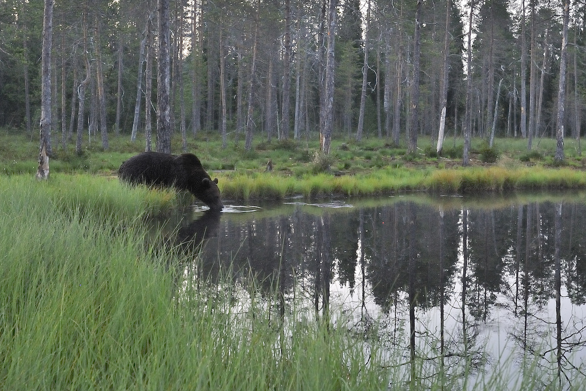 Bear watching evening